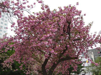 錦糸公園の八重桜 その1