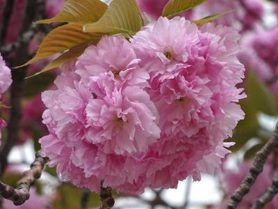 錦糸公園の八重桜 アップ1