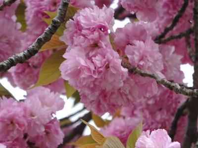 錦糸公園の八重桜 アップ2