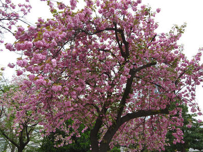 錦糸公園の八重桜 その2
