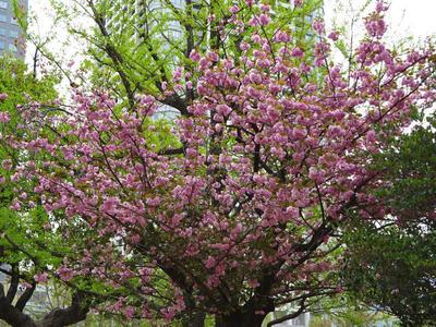 錦糸公園の八重桜 その3