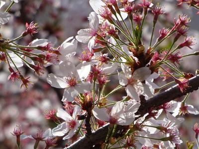 さくら公園の桜 アップ