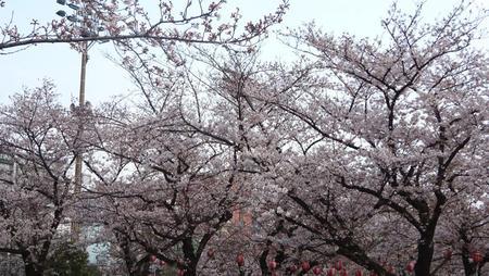 錦糸公園の桜 4