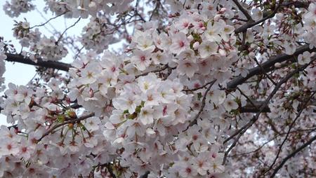 錦糸公園の桜 6