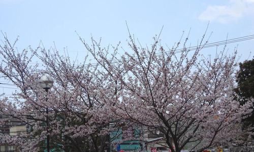 さくら公園の桜 その3