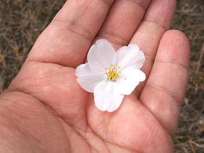 さくら公園の桜 落ちた花