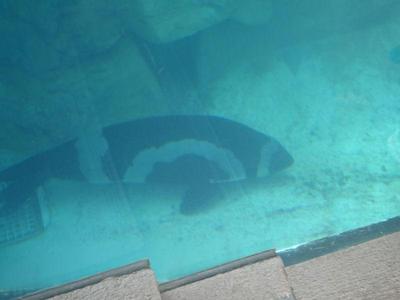 泳ぐクラカケアザラシ