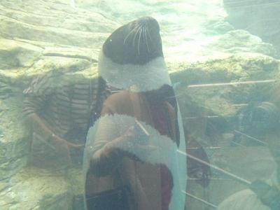 水の上に出るクラカケアザラシ