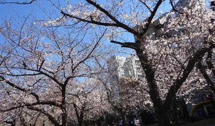 錦糸公園の桜 2
