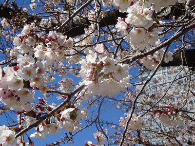 錦糸公園の桜 3