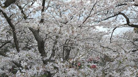 海老川沿いの桜 その1