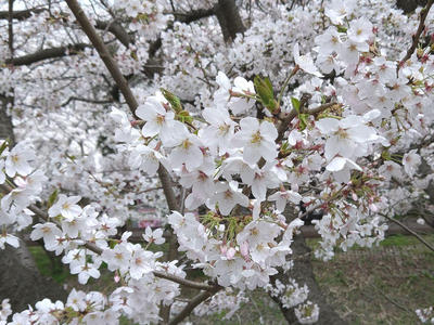 海老川沿いの桜  その2