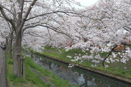 海老川沿いの桜  その3