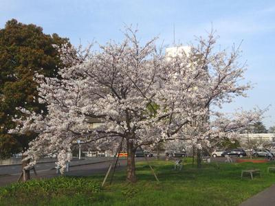 蘇我の桜 その1