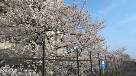 蘇我の桜 その2