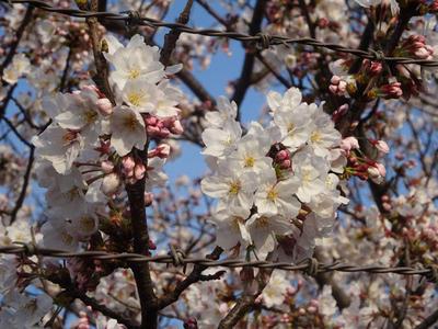 蘇我の桜 その3