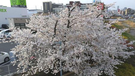 蘇我の桜 その4