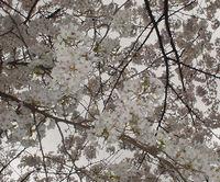 錦糸公園の桜2007