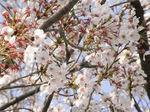 錦糸公園の桜 アップ