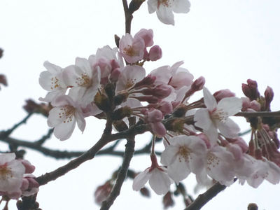 JFEスチール 桜並木 アップ