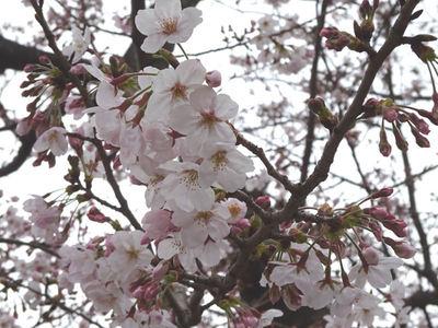 JFEスチール 桜アップ