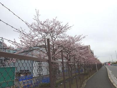 JFEスチール 桜並木