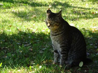 木陰に佇む灰トラさん。