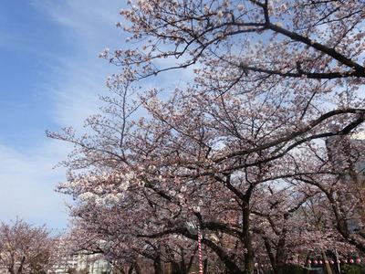 錦糸公園の桜 その2