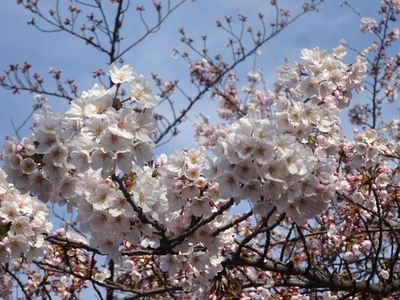 桜の花 群衆