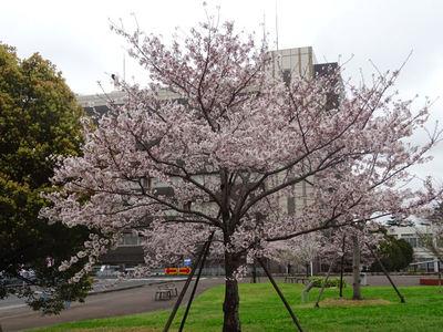 JFEスチール前の桜