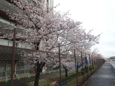 JFEスチール前の桜並木