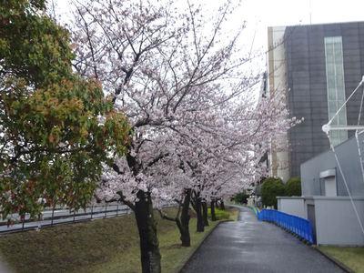 JFEスチール前の桜並木 内側から