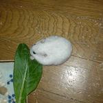 小松菜を食べるアイ